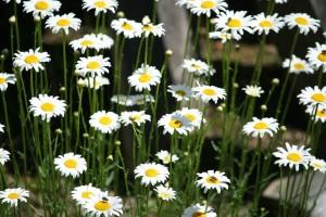 sunny daisies