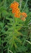 butterfly weed2