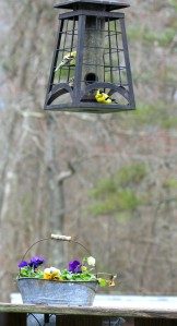golden goldfinches