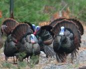 turkeys 012