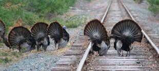 turkeys 020